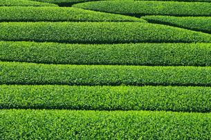 茶畑の素材 [FYI00045894]