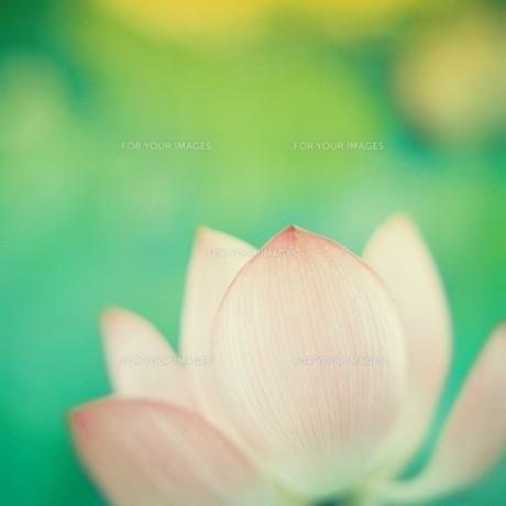LOTUS FLOWERの素材 [FYI00053240]