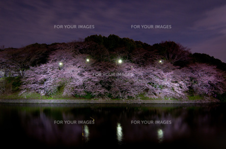 夜桜の素材 [FYI00073354]