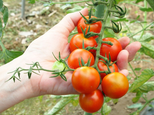 トマトを収穫するの素材 [FYI00108959]
