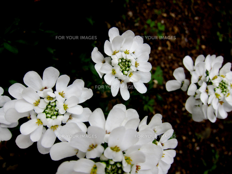 自宅庭にて越冬して咲くイベリスブライダルブーケの素材 [FYI00112887]