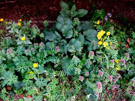 自宅庭縁の下前に自生する春の草花の素材 [FYI00112891]