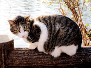 池の手すりに乗る猫の素材 [FYI00112893]