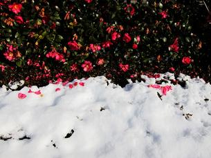雪の上に落ちる花びらと椿の生垣の素材 [FYI00112894]