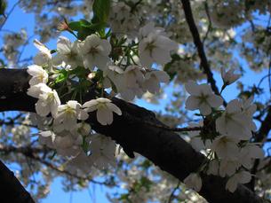 善福寺川緑地にて、晴天に咲く桜の素材 [FYI00112907]