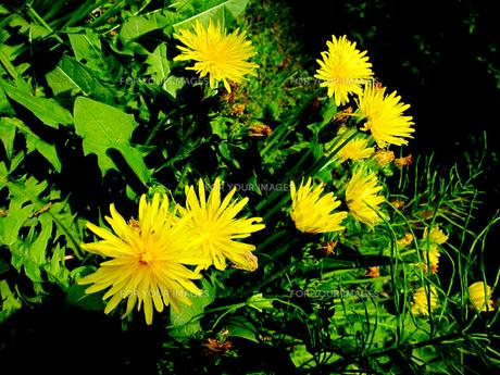 野川公園に咲くカントウタンポポの素材 [FYI00112912]