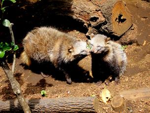 2匹のホンドタヌキ(井の頭動物園にて撮影写真販売了解済)の素材 [FYI00112931]