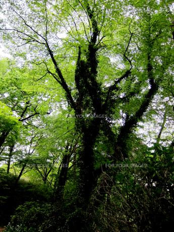 つる植物の絡まった大木の素材 [FYI00112940]