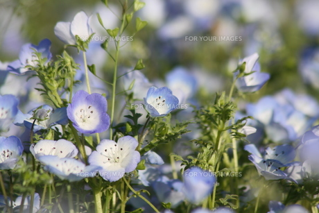水色の花の素材 [FYI00131421]