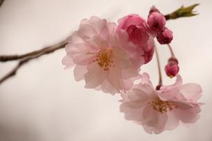 桜の素材 [FYI00168528]