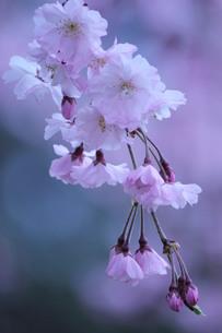 枝垂れ桜の素材 [FYI00168529]