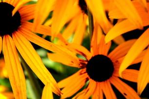 イギリス庭園に咲く花の素材 [FYI00180827]
