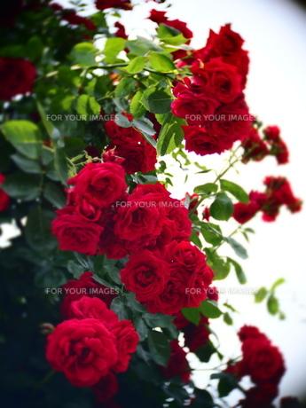 Red roseの素材 [FYI00203089]