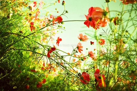 秋桜と風の素材 [FYI00299776]