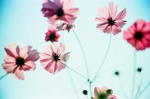 秋桜と空の素材 [FYI00299784]
