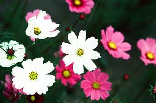 秋桜 白とピンクの素材 [FYI00299794]