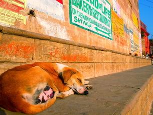 バナラシの犬の素材 [FYI00303234]