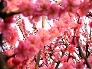 ピンクの梅の素材 [FYI00417545]