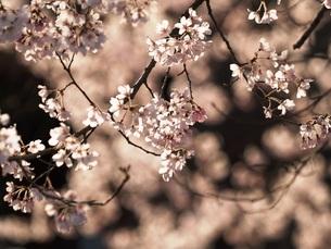 桜の素材 [FYI00417641]