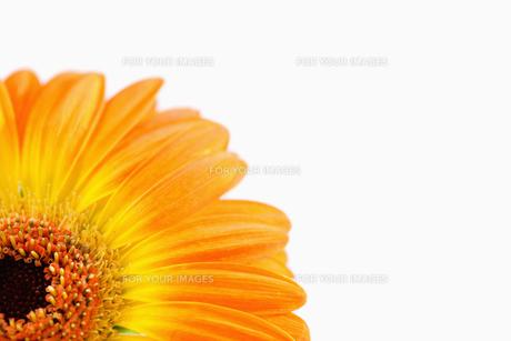 Orange sunflowerの素材 [FYI00488007]