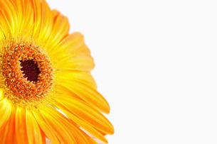 Focus on an orange sunflowerの素材 [FYI00488009]