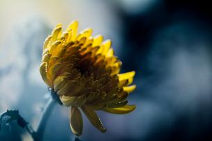 雨に濡れた黄色い菊の写真素材 [FYI00633378]