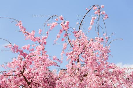 桜の写真素材 [FYI00737413]