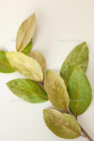 乾燥した月桂樹の素材 [FYI00945387]