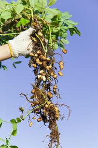 落花生の収穫の素材 [FYI00945471]