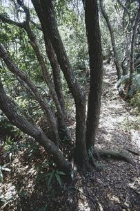 備長炭の原木 ウバメガシの森の素材 [FYI01073530]