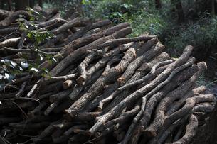 備長炭の原木 伐採されたウバメガシの素材 [FYI01073665]