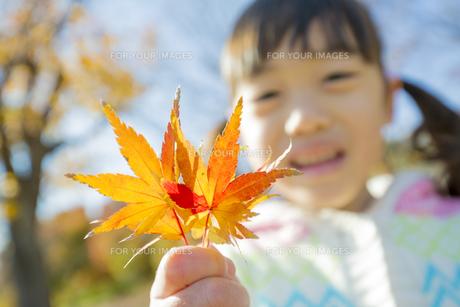 紅葉の公園でモミジの葉っぱを持って笑う女の子の素材 [FYI01075589]