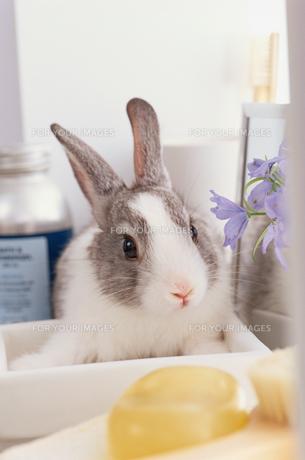 バスグッズに囲まれたミニウサギの素材 [FYI01119546]