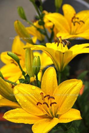 雨の日の花の写真素材 [FYI01200744]