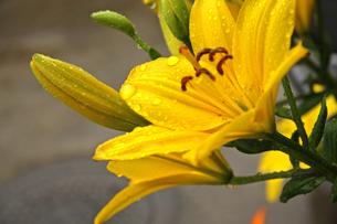 雨の日の花の写真素材 [FYI01200745]