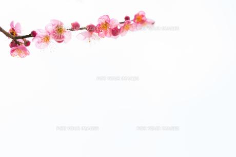 梅の花 白背景の写真素材 [FYI01236093]