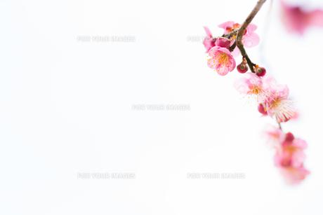 梅の花 白背景の写真素材 [FYI01236094]