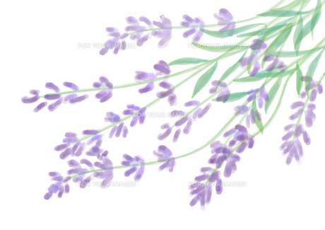 ラベンダーの花 Fyi01237032 ロイヤリティフリーイラスト素材 高
